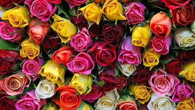 A selection of roses in a variety of colours, including yellow, pink, white, red and maroon.