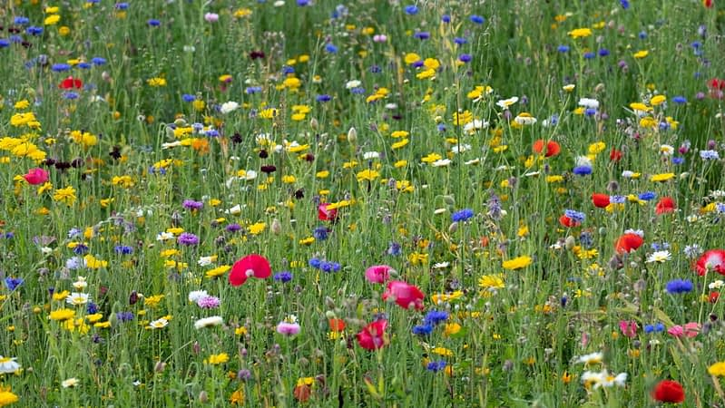 many-coloured wild flowers in a meadow