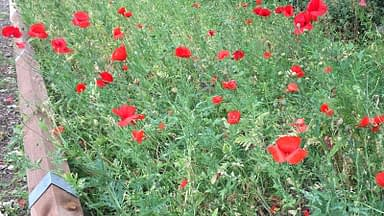 Close up of red poppy planting